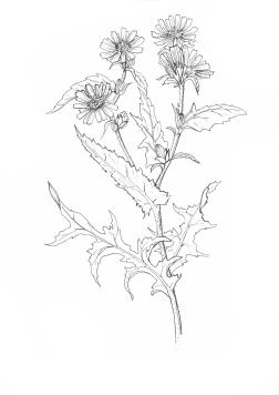 Chicorée sauvage