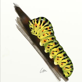 Papillo Machaon